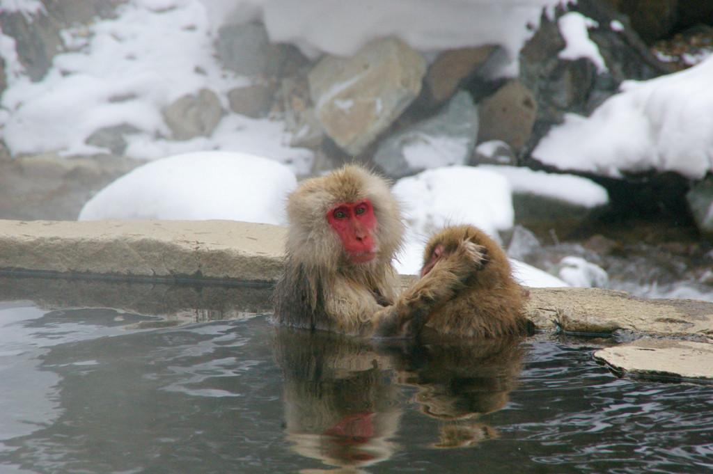 地獄谷野猿公苑にで温泉に入るサル親子